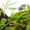 Further debates on cannabis use