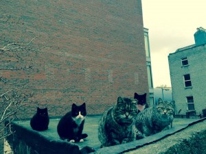 Feral cats in Dublin's inner city. Some have their ear clipped to show they have been neutered Photo- Dermot O'Shea