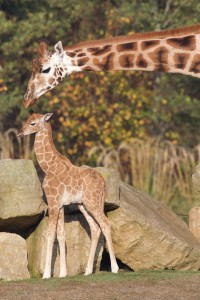 Image by- Dublin Zoo Facebook - Rothschild Giraffe Dublin Zoo