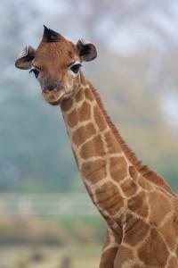 Image by- Dublin Zoo Facebook - Rothschild Giraffe Dublin Zoo